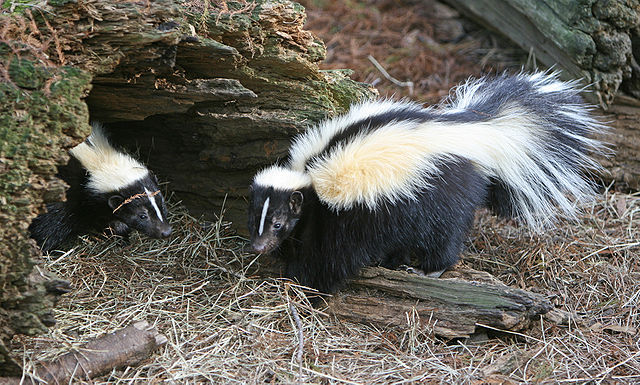 640px-Striped_Skunk.jpg