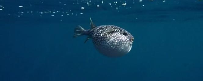 pufferfish7.jpg